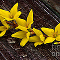 Yellow Forsythia by Scott Hervieux