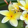 Yellow Frangipani Flowers by Sabrina L Ryan