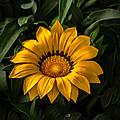 Yellow Gazania by Robert Bales