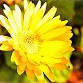 Yellow Gebera by Jennifer Groff
