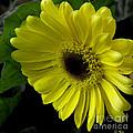 Yellow Gerbera Daisy  by James C Thomas