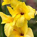 Yellow Gladiolus by Carol Groenen