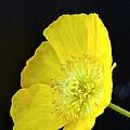 Yellow Glory by Randy J Heath
