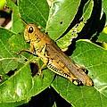 Yellow-green Grasshopper by Marilyn Burton