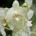 Yellow-green Phalaenopsis 8837 by Terri Winkler