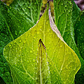 Yellow Green Skunk Cabbage Square by Bill Wakeley
