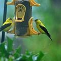 Yellow Grosbeak Duo by Maria Urso