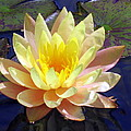 Yellow Hardy Water Lily by Lena Photo Art