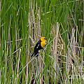 Yellow Headed Blackbird by M Dale