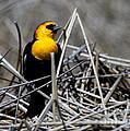 Yellow-headed Blackbird by Marty Fancy