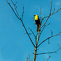 Yellow-headed Blackbird by Robert Bales
