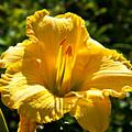Yellow Hibiscus by Darren Burton