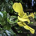 Yellow Hibiscus  by Dorothy Hilde