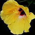 Yellow Hibiscus In The Rain by Marcus Dagan