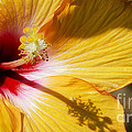 Yellow Hibiscus by Joshua Roberts