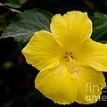 Yellow Hibiscus by Laurel Best