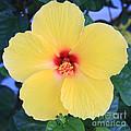 Yellow Hibiscus by Robin Maria Pedrero