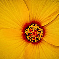 Yellow Hibiscus by TK Goforth