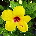 Yellow Hibiscus Too by Lisa Cortez