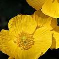 Yellow Iceland Poppy by J McCombie