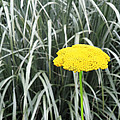 Yellow Immortelle Flower by Alla Albert