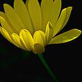 Yellow Flower by Tom Gari Gallery-Three-Photography