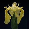 Yellow Iris by Dodie Ulery