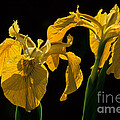 Yellow Iris Flowers by Chris Scroggins