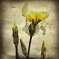 Yellow Iris - Vintage Colors by Gothicrow Images