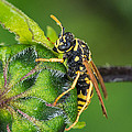 Yellow Jacket by Jim Zablotny