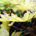Yellow Japanese Maple by Anna Burdette