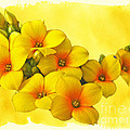 Yellow Kalanchoe - Succulent Sunshine by Mother Nature