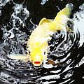 Yellow Koi - Black And White Art by Sharon Cummings