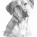 Yellow Lab Dog Pencil Portrait by Mike Theuer