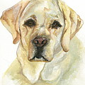 Yellow Lab by Kimberly Lavelle