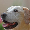 Yellow Lab by Michael Biggs
