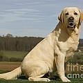Yellow Labrador Dog by Jean-Michel Labat