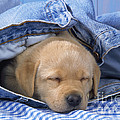 Yellow Labrador Puppy Asleep In Jeans by John Daniels