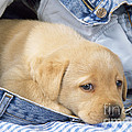 Yellow Labrador Puppy In Jeans by John Daniels
