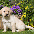 Yellow Labrador Puppy by Jean-Michel Labat