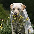Yellow Labrador Retriever Dog Smelling Yellow Flowers  by Dog Photos