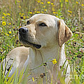 Yellow Labrador Retriever by John Daniels
