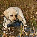 Yellow Labrador Retriever Puppy Standing In Water by Dog Photos
