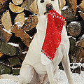 Yellow Labrador With Stocking by John Daniels