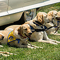 Yellow Labs In Training by Diana Weir