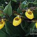 Yellow Lady Slippers On Forest Floor by Barbara McMahon