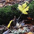 Yellow Leaf by Nicholas Miller