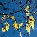 Yellow Leaves And Blue Sky In Autumn by Matthias Hauser