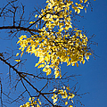 Yellow Leaves In Fall And Deep Blue Sky by Matthias Hauser