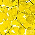 Yellow Leaves by Kathleen Smith